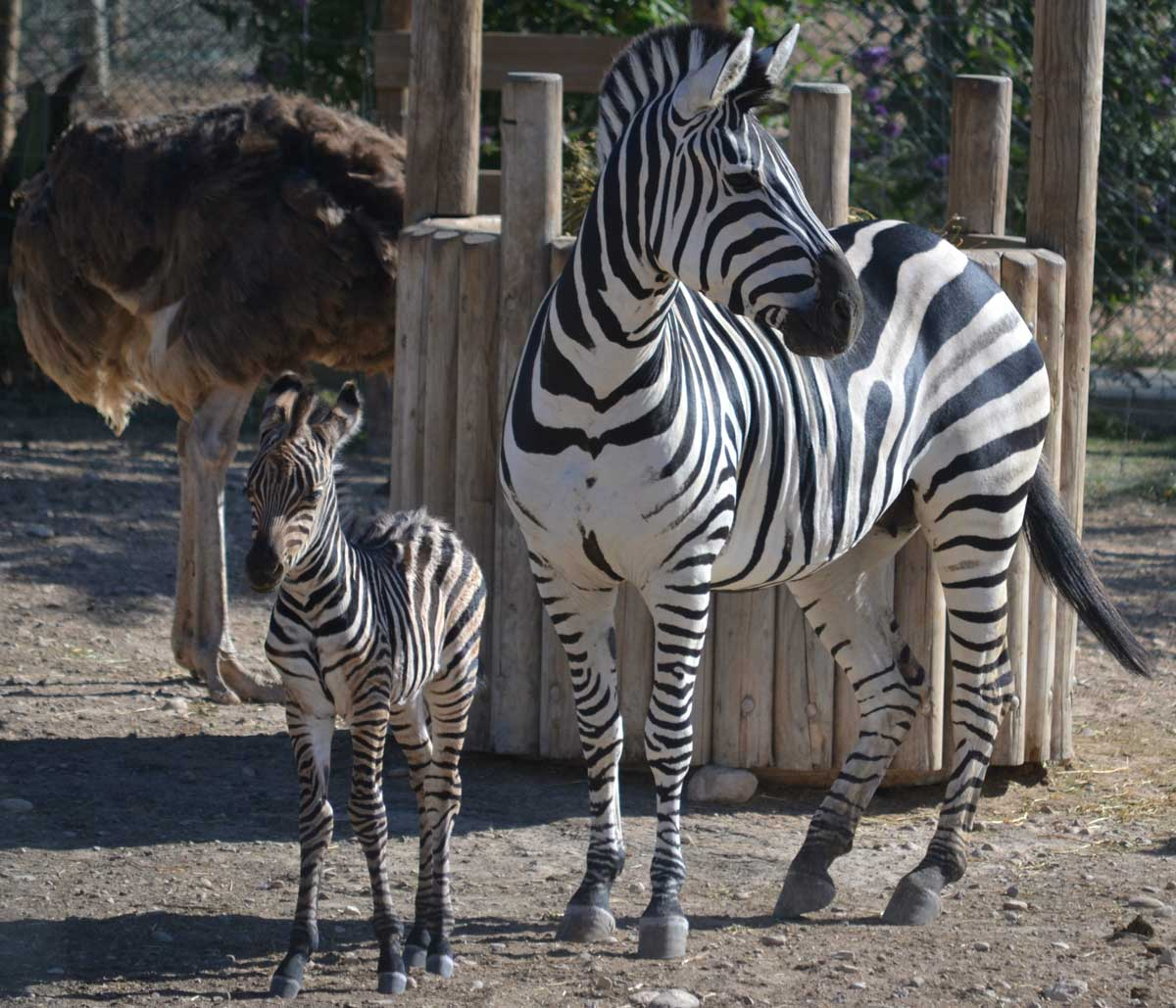 Sendaviva-Cebra-nacida-lunes-8-agosto-