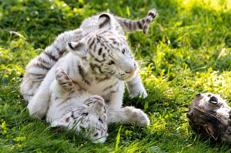 Tigres-blancos-Sendaviva-2-Baja
