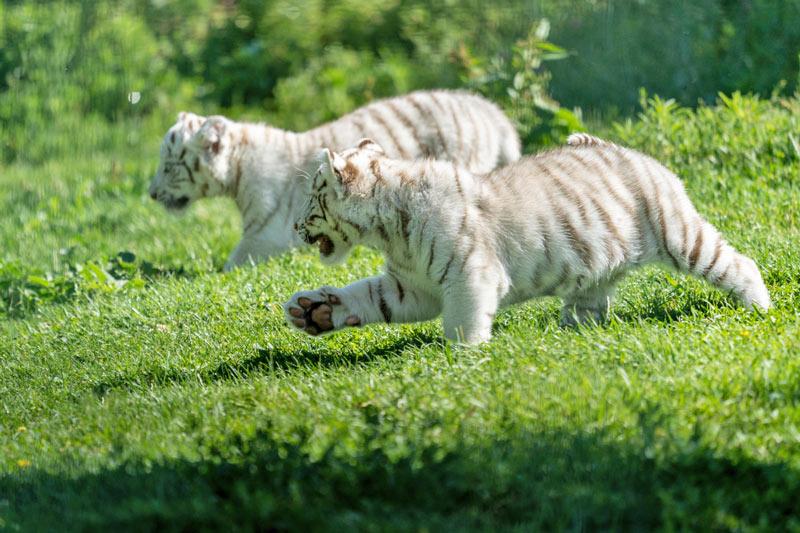 Tigres-blancos-Sendaviva-3