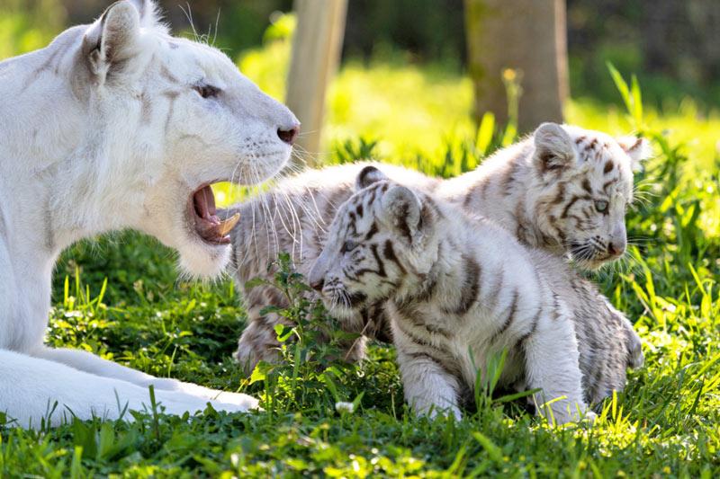 Tigres-blancos-Sendaviva_baja