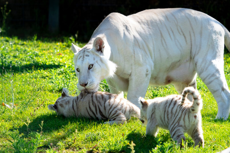 Tigres-blancos-Sendaviva-4