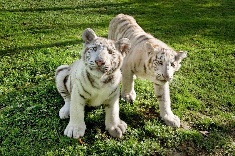 Tigres-blancos-Sendaviva