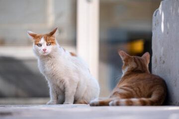 Arguedas Gatos Cer