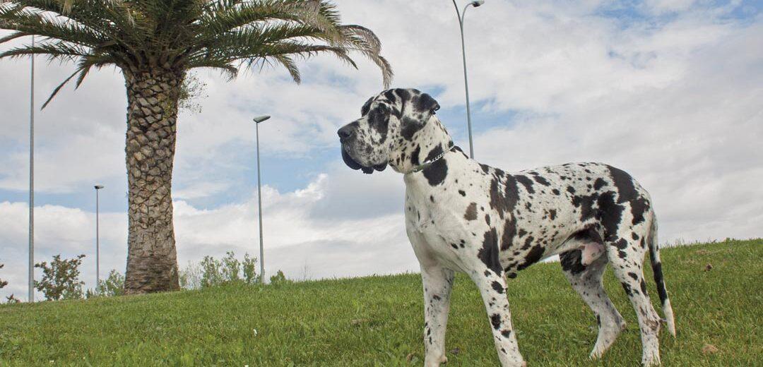Arguedas Dogo Aleman 2021